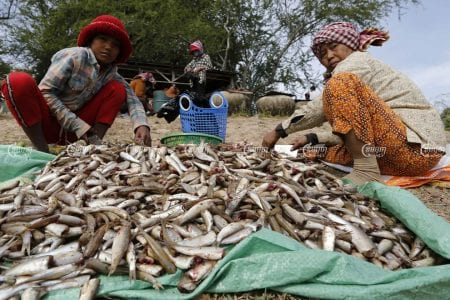 "Fishers in Kandal province sort through and clean ""riel""fish, which will be used to produce ""prahok,"" a popular Cambodian fermented fish paste. Panha Chhorpoan"