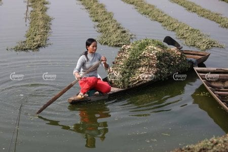 A Phnom Penh resident harvests vegetables on the remnants of wetlands in southern Phnom Penh that is being developed by ING Holdings. CamboJA/Pring Samrang