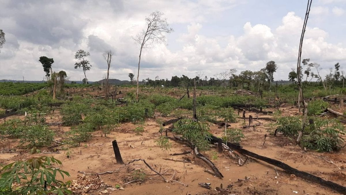 Cassava plants on an illegal cleared portion of the Phnom Ses community forest in Kratie province's Sambo district. Photo taken in October 2020. CYN
