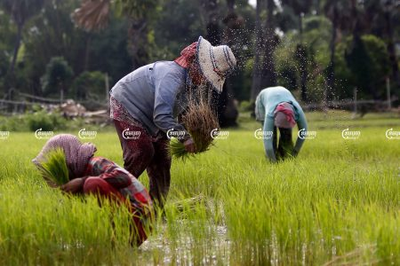Farmers plant rice in a paddy field in Kampong Chhnag province. Picture taken on August 2016. CamboJA/ Pring Samrang