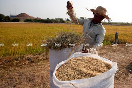 A man packages rice after a harvest in Kandal province. Photo take February 2015. CamboJA/ Pring Samrang