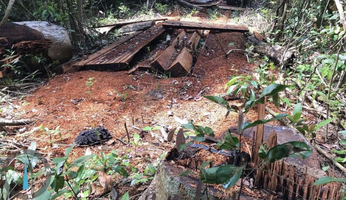 Cut logs discovered by an environmental patrol inside protected community forest in Kratie, August 18, 2021. CYN