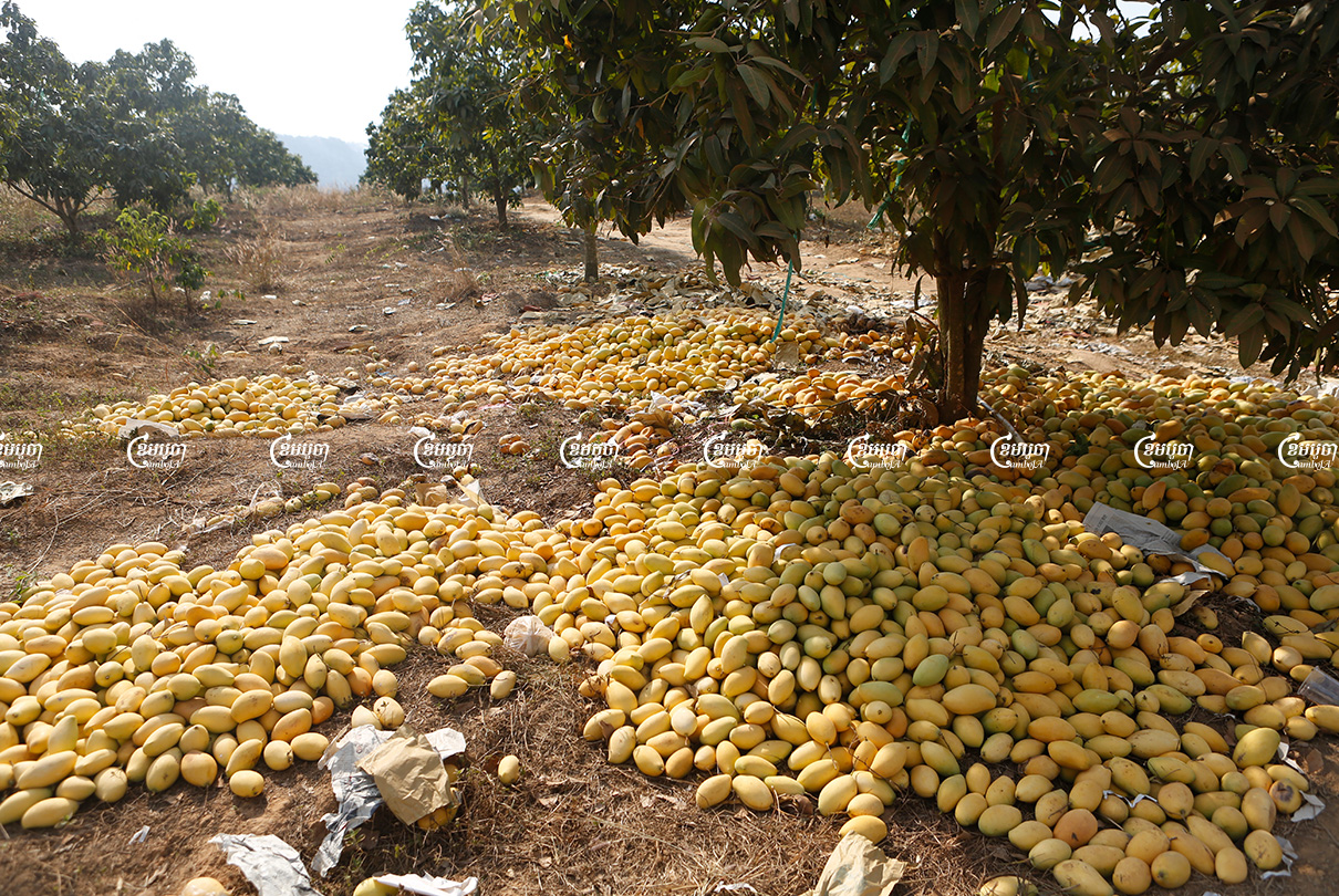 Ripe mangoes left in piles earlier this year at a farm in Kampot province due to weak prices. Photo taken March 18, 2021. CamboJA/ Panha Chhorpoan