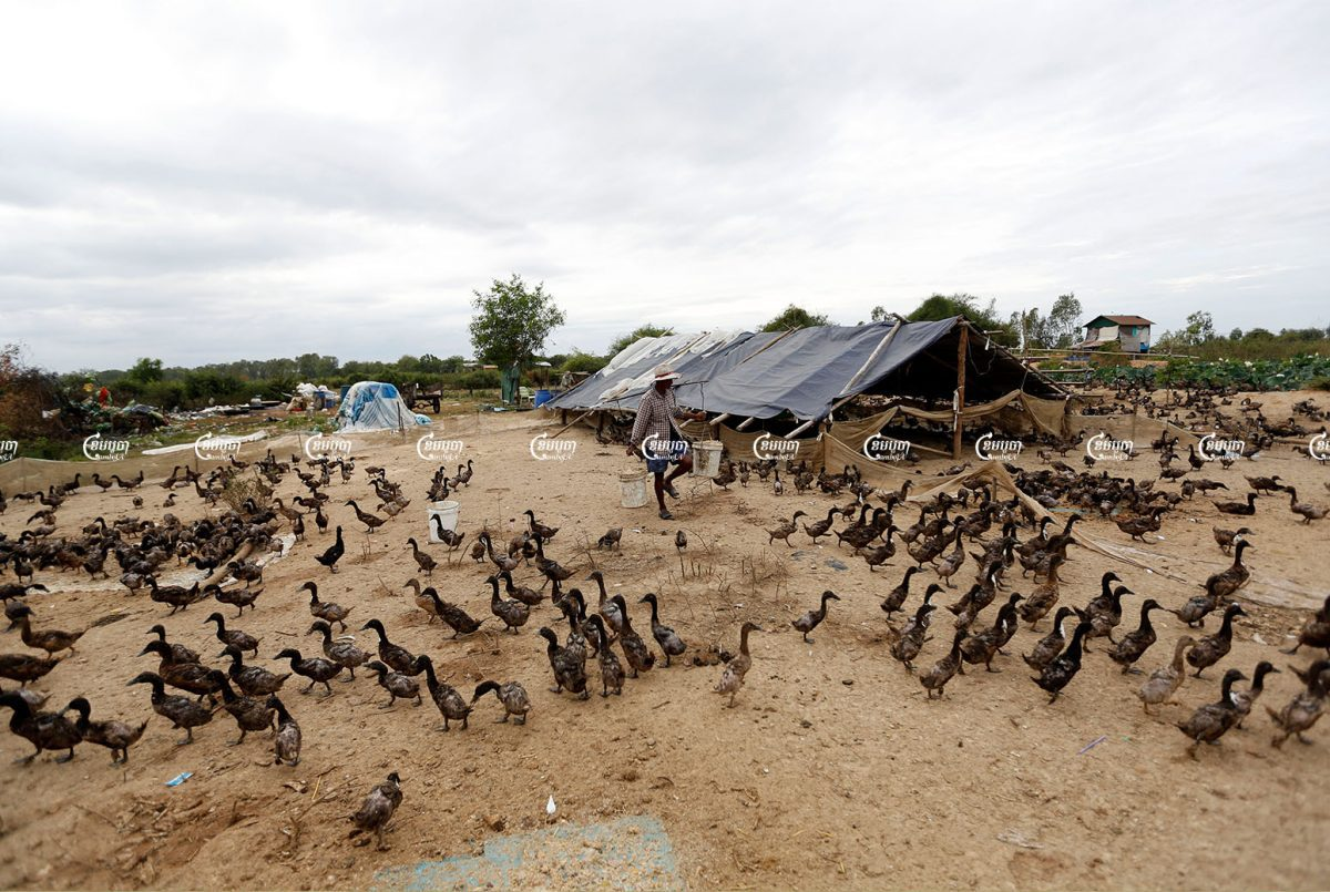 A man feeds ducks at his farm at the outskirts of Phnom Penh, Picture taken on February 2, 2017. CamboJA/ Pring Samrang