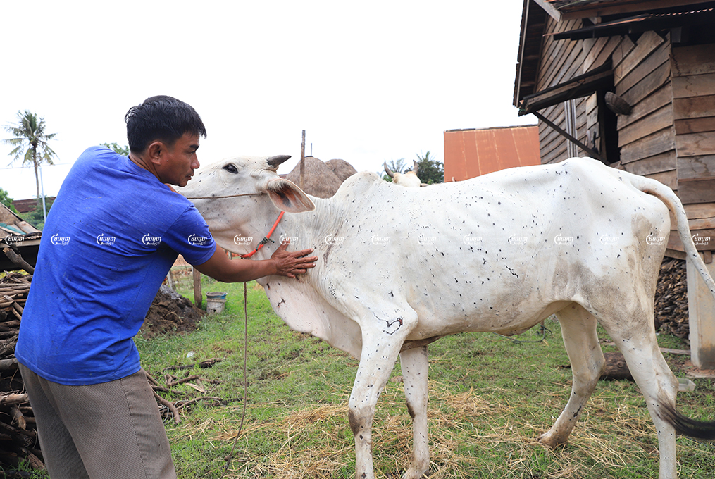 A man looks after his cattle infected with lumpy skin disease in Siem Reap province. Picture taken on September 11, 2021. CamboJA/ Panha Chhorpoan