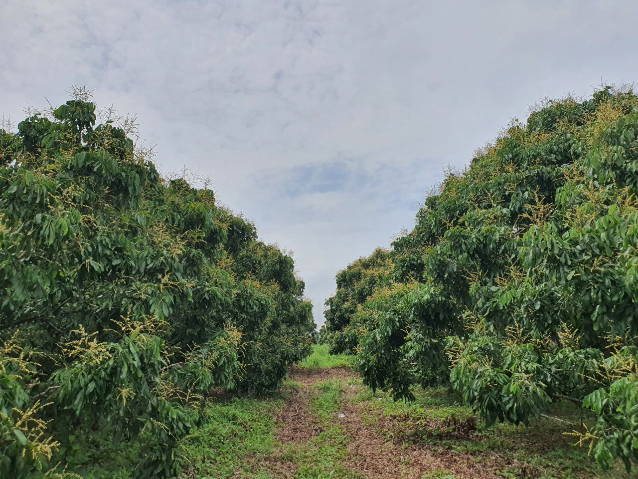 Longan plantations in Pailin province. Thai landowners are reportedly trying to attract Cambodian migrant workers across the border to help bring in this season's harvest. Supplied